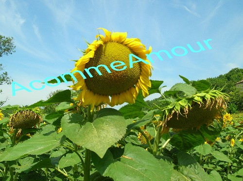 photo de tournesol